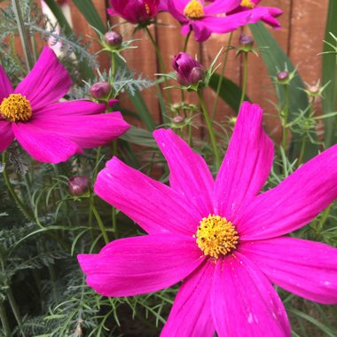 Cosmos bipinnatus 'Summer Sensation' Mix