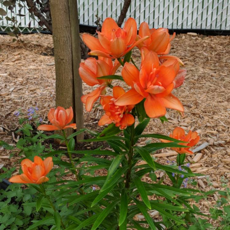Plant image Lilium 'Orange Pixie'