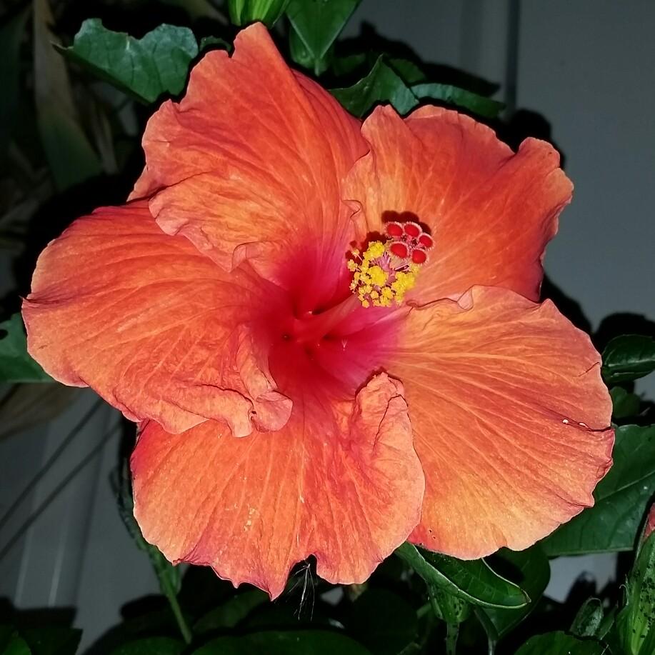hibiscus rosa sinensis 39 firebird 39 hibiscus 39 firebird. Black Bedroom Furniture Sets. Home Design Ideas