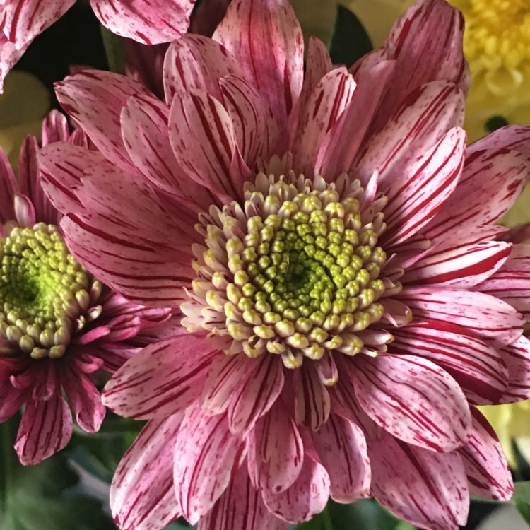 Plant image Chrysanthemum (unknown variety)