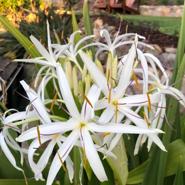 Giant Crinum Lily