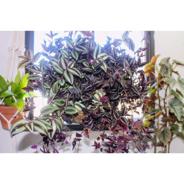 Tradescantia  'Houseplants'
