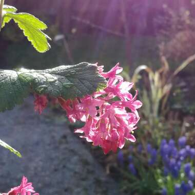 Flowering Currant 'King Edward VII'