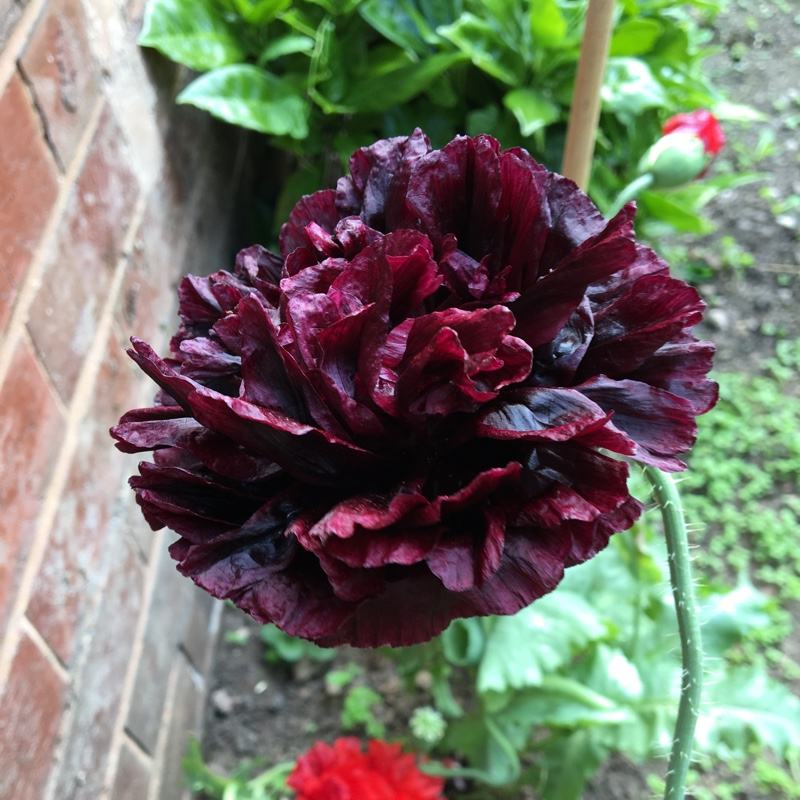 Plant image Papaver somniferum 'Black Beauty'