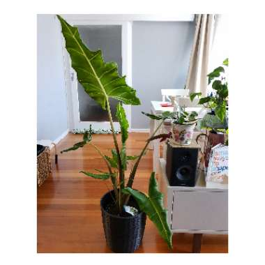 Elephant Ear (Alocasia)