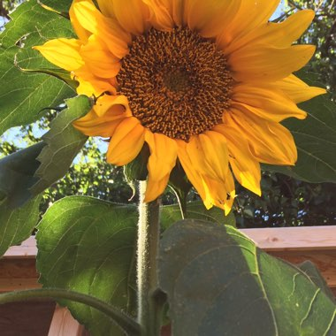 Sunflower 'Giant Single'