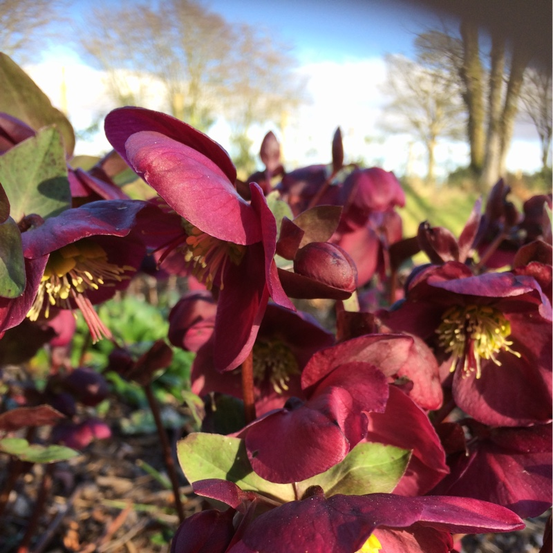 Plant image Helleborus 'Queen Of The Night'