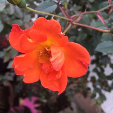 Miniature Climbing Rose 'Warm Welcome'