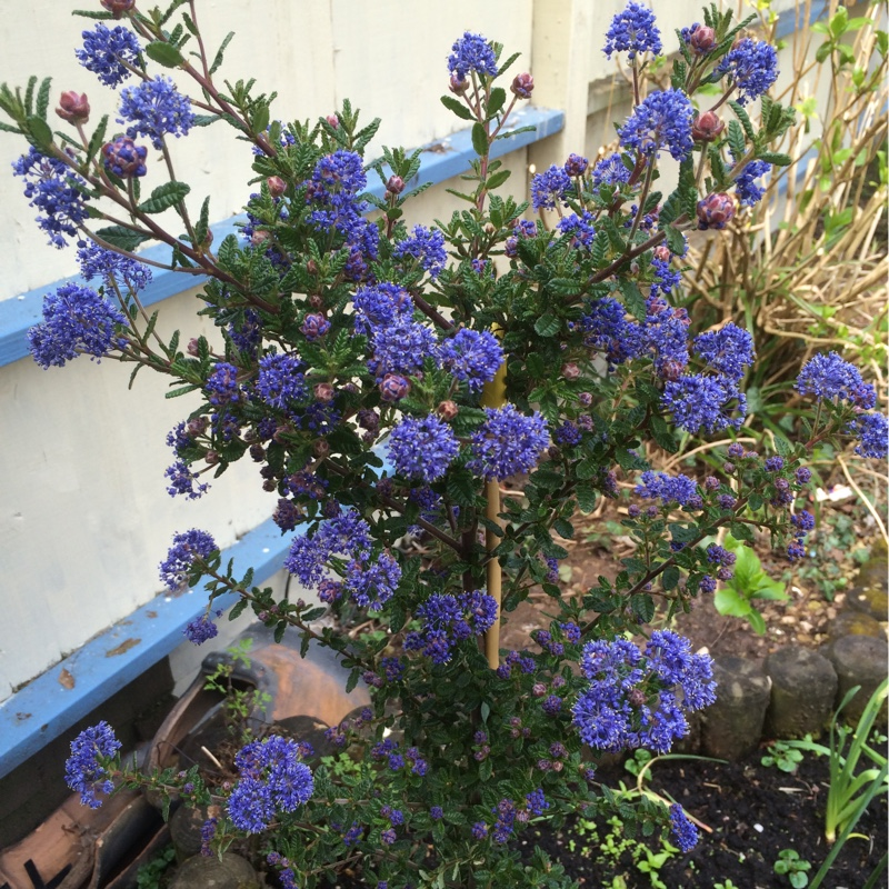 ceanothus 39 puget blue 39 californian lilac 39 puget blue. Black Bedroom Furniture Sets. Home Design Ideas