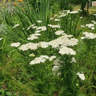 Woolly Yarrow
