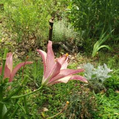 Lily (Asiatic)