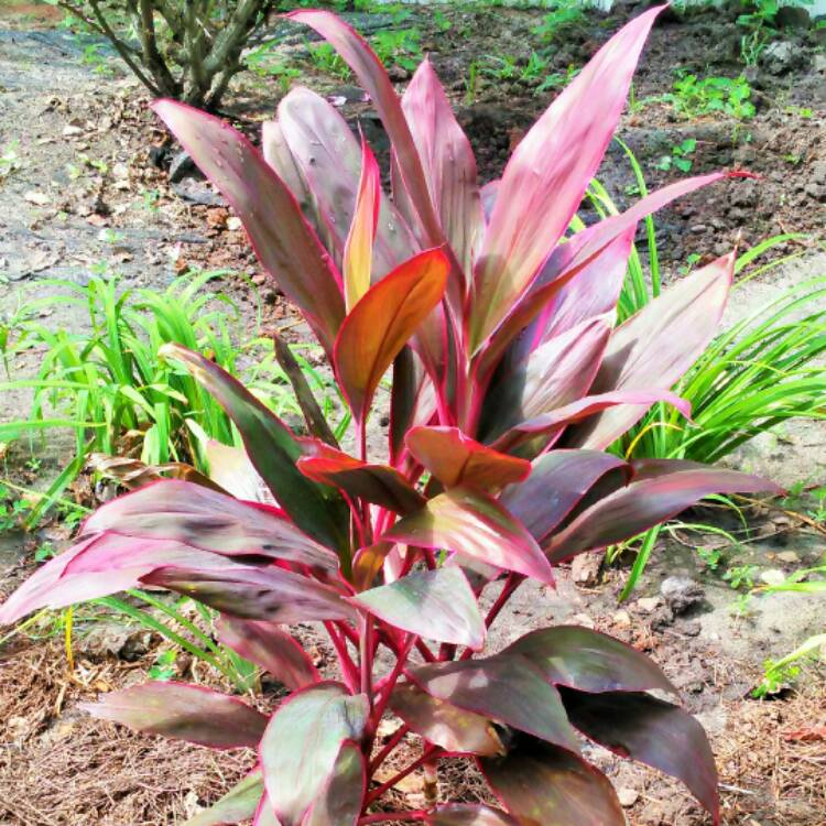 Plant image Cordyline Fruticosa 'Red Sister'