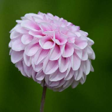 Dahlia 'Wizard of Oz' (Ball)