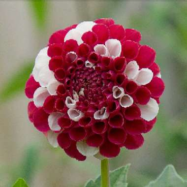 Dahlia 'York and Lancaster' (Decorative)