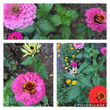 Zinnia 'Moulin Rouge Mix'