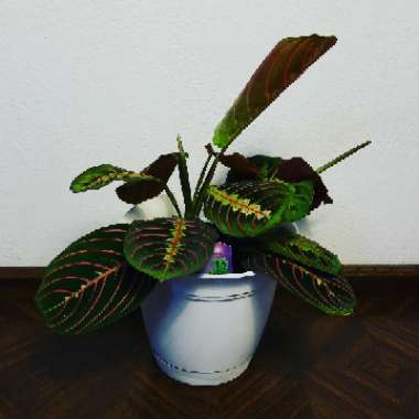 Prayer Plant 'Fascinator Tricolour'