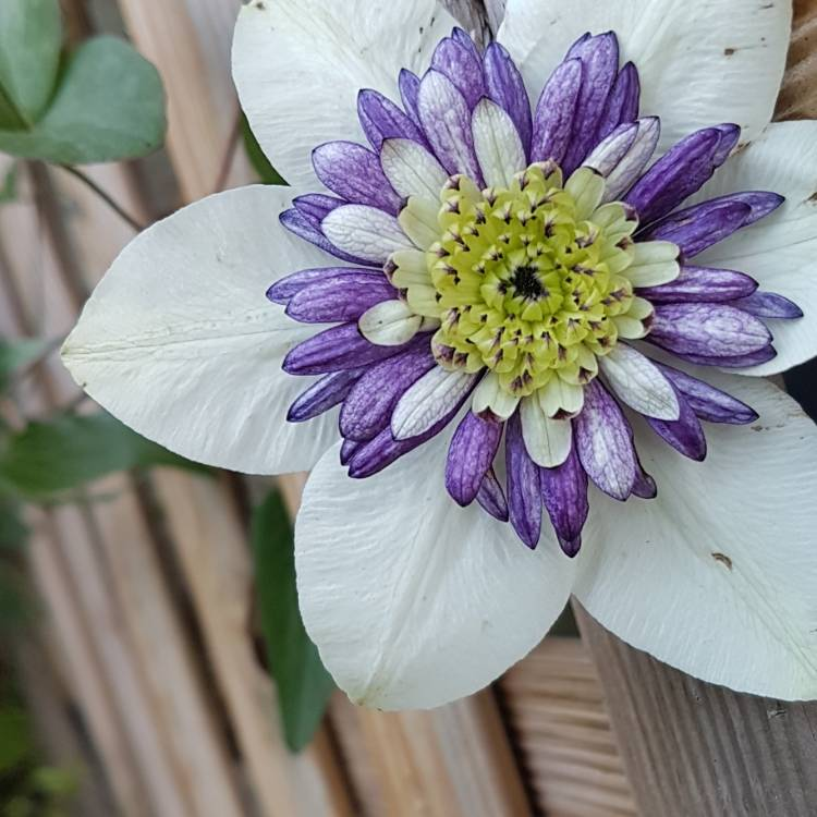 Plant image Clematis 'Viennetta'™ evipo006