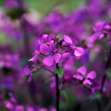 Wallflower 'Bowles Mauve'
