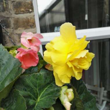 Begonia Double and Fringed 'Samba' (Mix)
