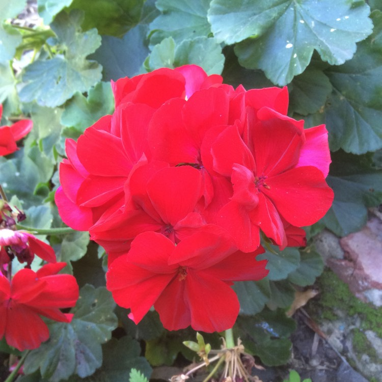 Plant image Pelargonium 'Calliope Big Red' (Calliope Big Series)