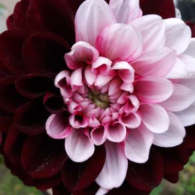 Dahlia 'Daria In Love'