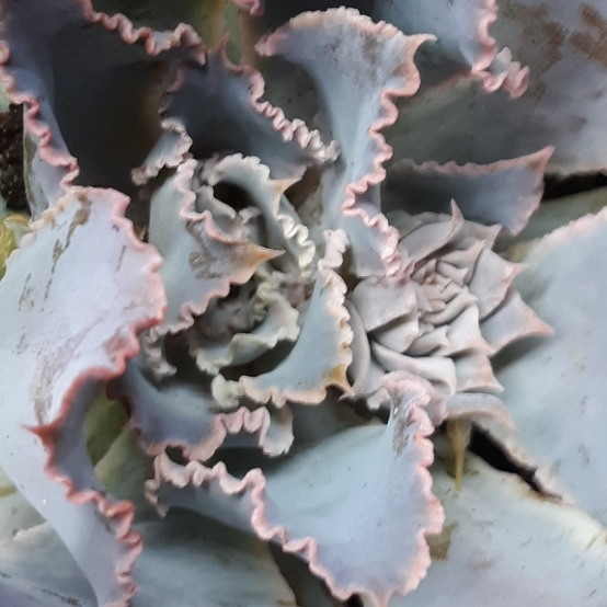 Plant image Echeveria Neon Breakers