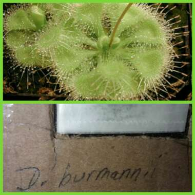 Drosera Burmannii Green