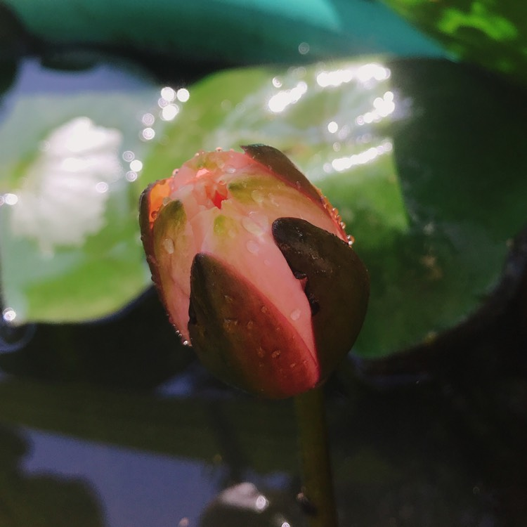 Plant image Nymphaea 'Colorado'