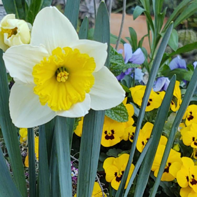 Plant image Narcissus 'Ice Follies'