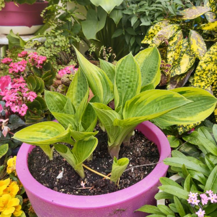 Plant image Hosta 'Patriot'