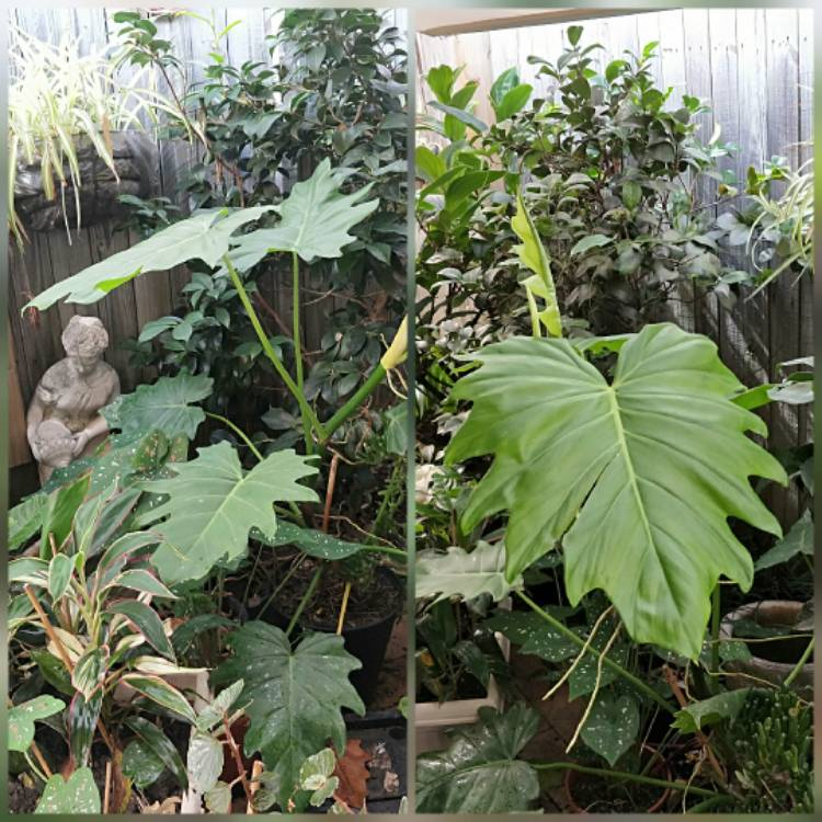 Plant image Philodendron bipinnatifidum syn. Philodendron selloum