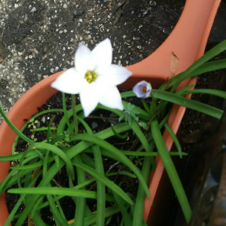 Plant image Ipheion uniflorum 'Rolf Fiedler'