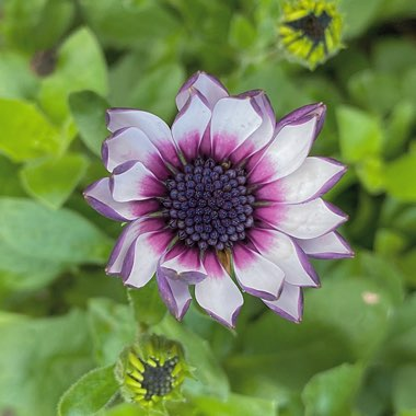 African daisy 'Akila White Purple Eye '