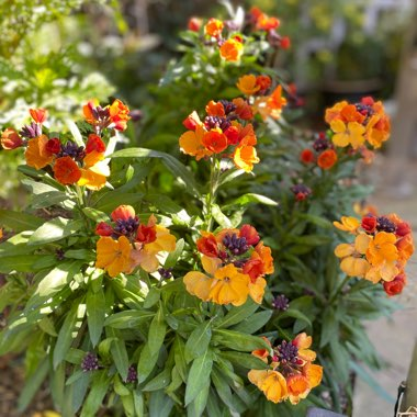 Erysimum 'Rysi Copper' (Rysi Series)