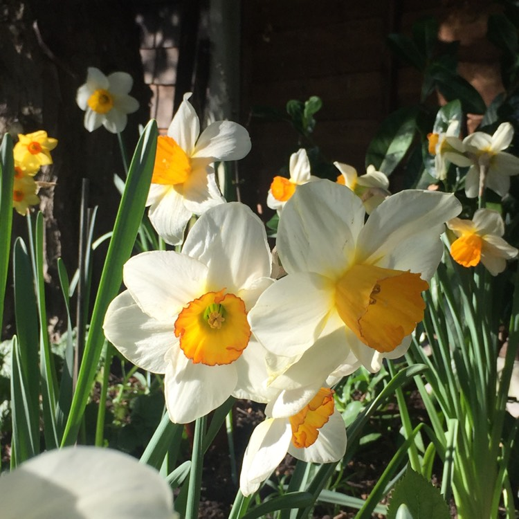 Plant image Narcissus