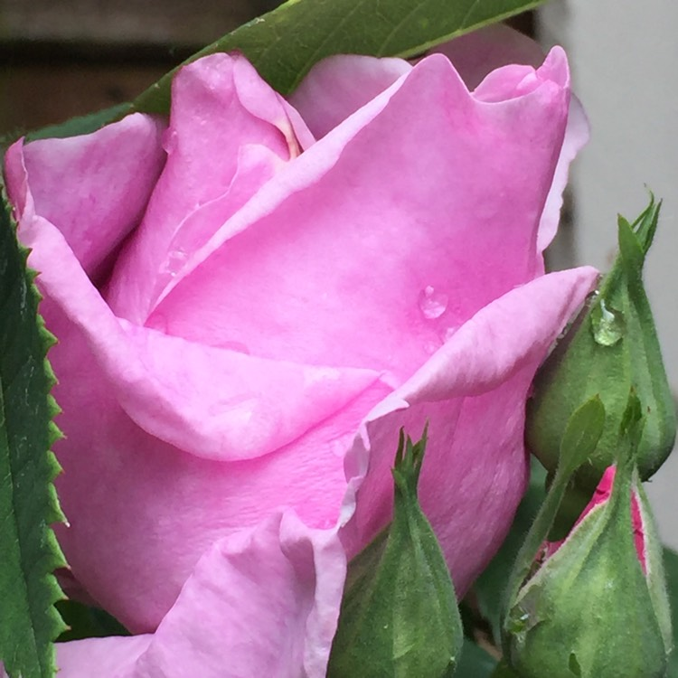 Plant image Rosa (Unknown variety)