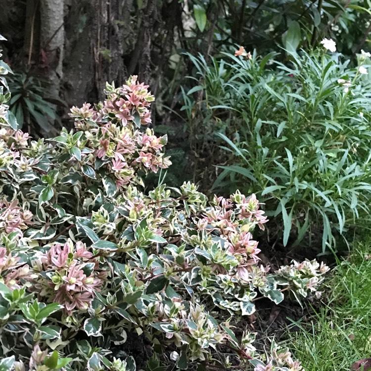 Abelia X Grandiflora Sunshine Daydream Syn Abelops Abelia