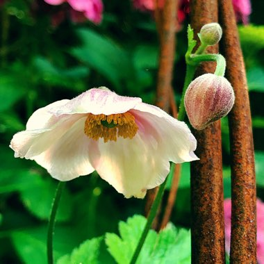 Japanese Anemone 'Honorine Jobert'