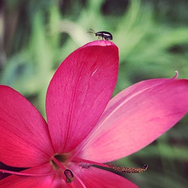 Hesperantha coccinea 'Major' syn.  Schizostylis coccinea 'Major'