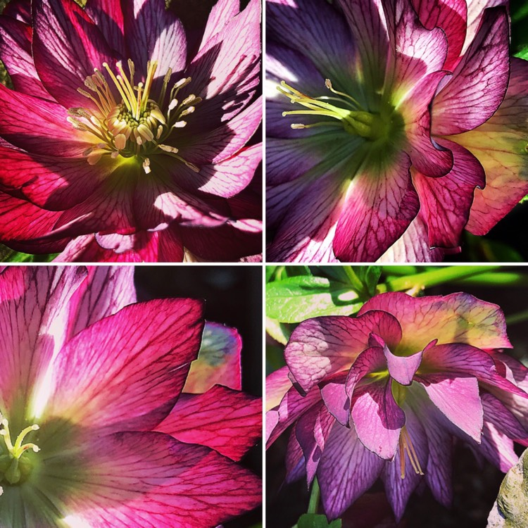 Plant image Helleborus x hybridus 'Stained Glass'