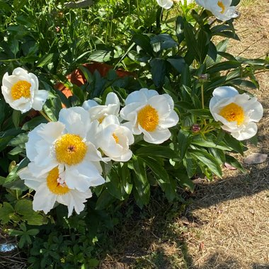 Peony 'White Wings' (Herbaceous)