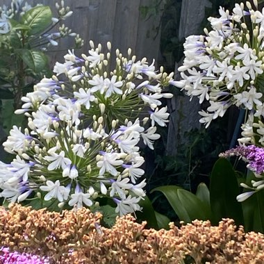 African Lily 'Twister'