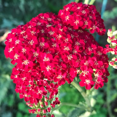 Yarrow 'Red Velvet'