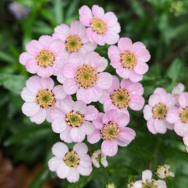 Yarrow 'Love Parade'