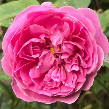 Rose 'Harlow Carr' (Shrub)