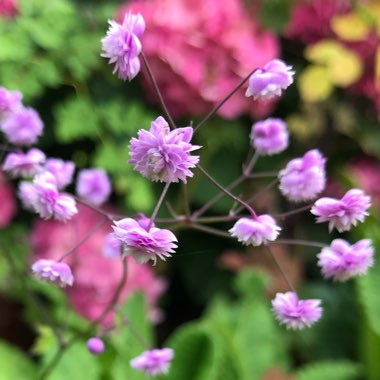 Chinese Meadow Rue 'Hewitts Double'
