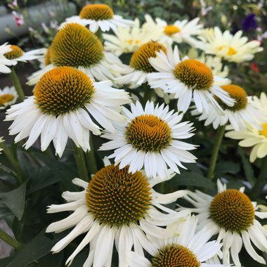 Coneflower 'White Meditation'