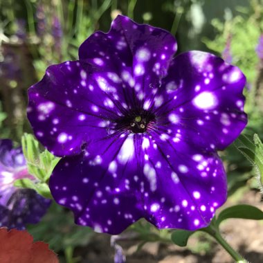Petunia 'Kleph15313' syn. Petunia 'Night Sky', Petunia 'Headliner Night Sky'