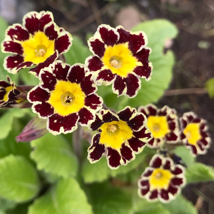 Plant image Primula 'Gold-laced Group' syn. Primula elatior 'Gold Lace', Primula elatior 'Victorian Gold Lace Black', Primula 'Gold Lace'