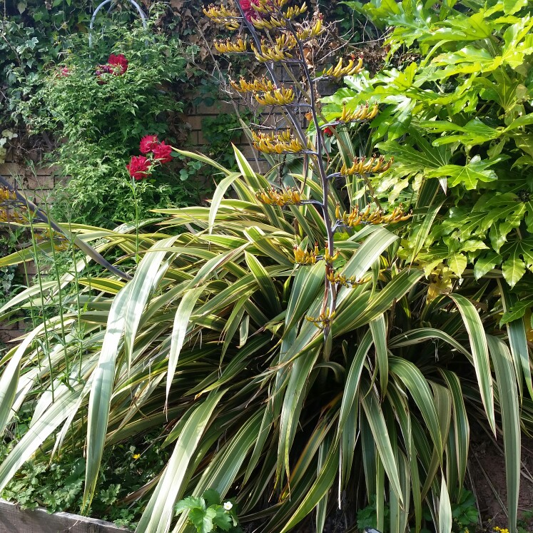 Picture of Live Mountain Flax aka Phormium cook. 'Tricolor' Plant Fit 5 Gallon Pot